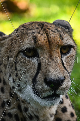 Extreme close up portrait of cheetah (Acinonyx jubatus) looking at camera over green background, high angle view