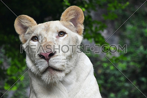 Young white African lioness close up portrait in zoo environment, low angle