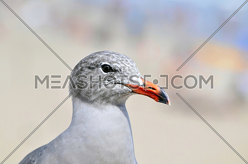The Mediterranean gull (Ichthyaetus melanocephalus) is a small gull. The scientific name is from Ancient Greek