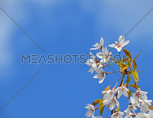 Branch of white cherry blossom sakura flowers with green leaves and fresh new buds over cloudy blue sky background