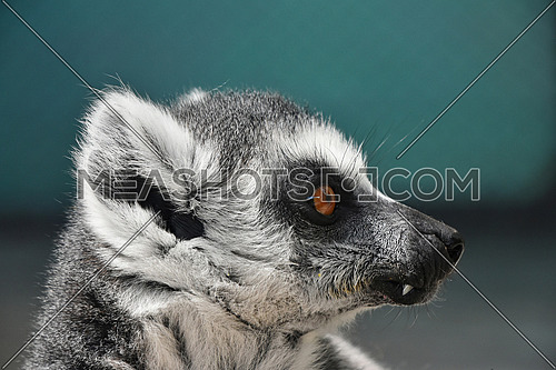 Close up portrait of one cute ring-tailed lemur (aka lemur catta, maky or Madagascar cat) in profile