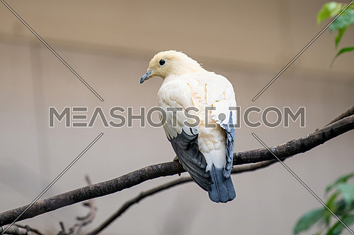 Close up of Pied Imperial Pigeon (Ducula bicolor)