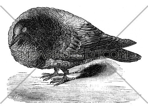 Pigeon after ablation of the cerebral lobes, vintage engraved illustration. Earth before man – 1886.