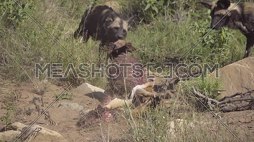 Wild Dog drags a dead Impala kill