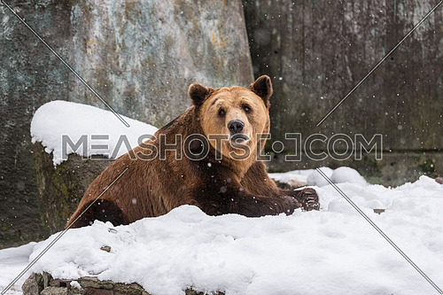 Eurasian brown bear  on the snow background