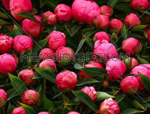 Close up background of fresh pink peony flowers with green leaves on retail display, elevated high angle view