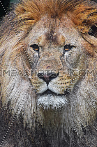 Close up portrait of young male African lion with beautiful mane, looking at camera, low angle view,