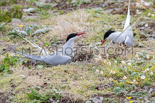 The Arctic tern (Sterna paradisaea) is a long-distance migrant, making a staggering annual round-trip from its Arctic or northern temperate breeding range to the Antarctic where it spends winter