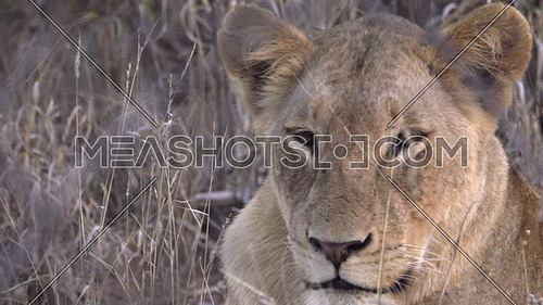 Scene of Lion flicking ears to get rid of flies