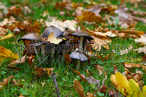 Close up colony of toadstools, poisonous mushrooms in green grass and orange autumn oak leaves, high angle view