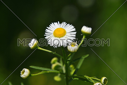 Wild summer meadow chamomile flower heads and young new buds over green background of field, close up