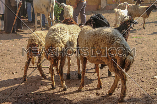 a photo of sheep in an Egyptian village