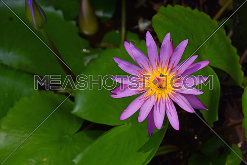One purple flower of Nymphaea caerulea (aka blue lotus flower or Egyptian water lily) with new young buds and insects inside in water among green leaves, close up, high angle view