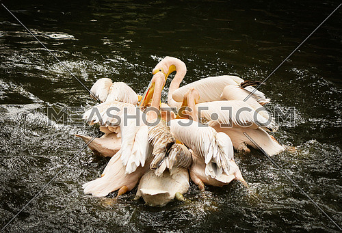 Pelicans - water fight for food