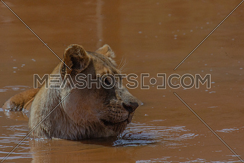 Lion in the water