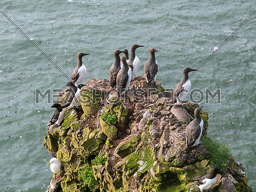 Large nesting Guillemot (Uria aalge) colony on coastal cliffs