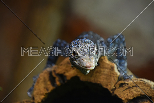 Close up front portrait of blue spotted tree monitor (Varanus macraei) resting on tree trunk and looking at camera, low angle view