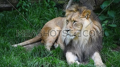 Close up portrait of one male lion turning head and looking at camera over background of green grass, low angle view