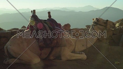 Mid- shot for camels setting in Camels rest area in Sinai Mountain at day.