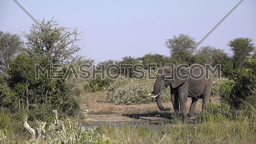 Scene as an elephants drinks from a waterhole
