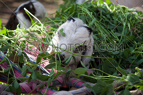 baby goat eating clovers