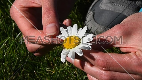 High angle view close up of young woman hands pick off and rip out petals of chamomile flower in French game called He loves me, he loves me not