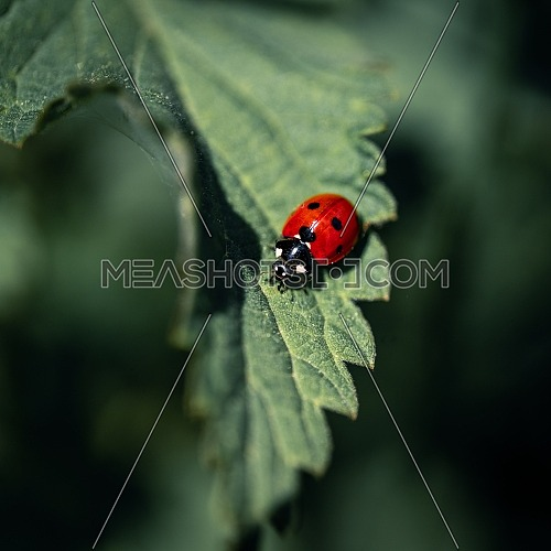 Ladybug on a green leaf close up, used split toning