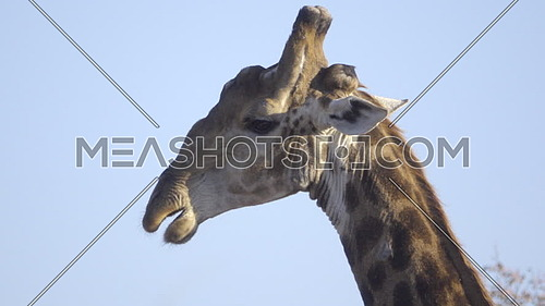 Scene of a bull Giraffe chewing the cud