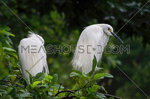 A Snowy Egret, Egretta thula standing in the tree