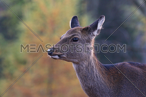 Fallow deer in a forest in the fall