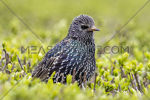 Common starling sturnus vulgaris sitting in grass. Selective focus
