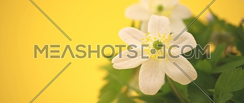Spring background with blooming Wood Anemone Windflower flowers over yellow background with copy space