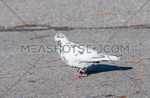 Grey pigeon. Beautiful pigeon close up. City birds. Pigeon of the Church. Pigeon view. Lonely dove bird. One pigeon. Dove close up view. Dove - a bird of peace. Pigeon standing alone.