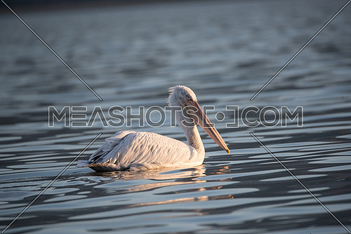 Dalmatian curly pelican (Pelecanus crispus) the world's largest freshwater bird