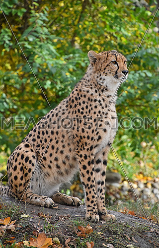 Close up side profile full portrait of cheetah (Acinonyx jubatus) sitting on the ground among green trees and looking away from camera, low angle view