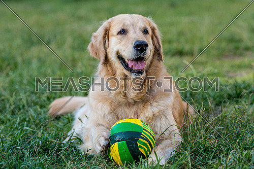 Portrait of golden retriever laying on the green grass