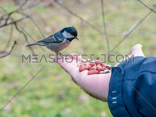 Coal tit (Periparus ater)  Small woodland bird in the family Paridae