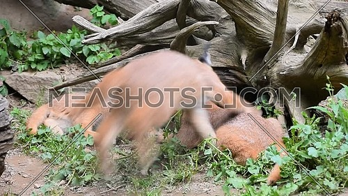 Close up view of three cute baby caracal kittens hiding under wood stump and playing, hunting and chasing each other, low angle