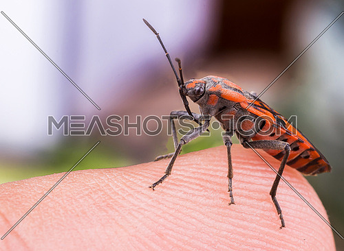 Red Insect close up on a finger