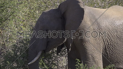 View of an elephant flapping his ears to cool his blood