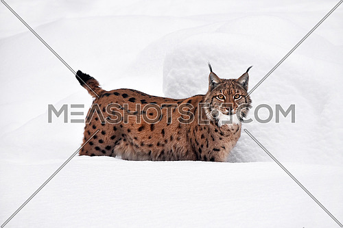 Close up full length low angle side view of Eurasian lynx standing in deep winter snow and looking at camera alerted