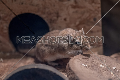 Close-up portrait of Mongolian gerbil or Mongolian jird (Meriones unguiculatus)
