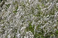 Gypsophila paniculata common, small white flowers bush, also known as tumbleweed or baby's breath, trembling, shaking in the wind, selective focus