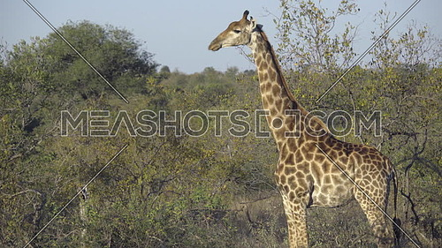 Scene of a Red Billed Oxpecker pestering a Giraffe