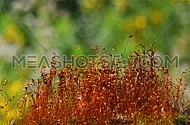 Common brown haircap moss (Polytrichum commune) moving fast after rain, covered with water drops over green, close up