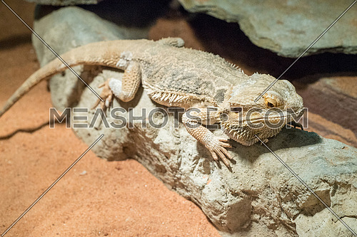 Pogona henrylawsoni-Bearded Dragon on a wood branch