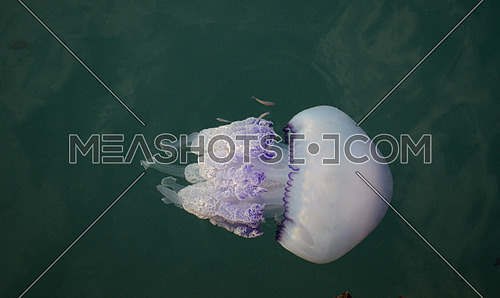 Rhizostoma pulmo jellyfish in the mediterranean sea
