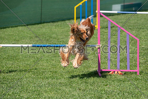 Purebred Cocker Spaniel dog jumping over obstacle on agility competition.