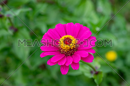 Close up of Zinnia flower (Zinnia violacea) with green background. Zinnia flower in the tropical garden is genus of sunflower family.