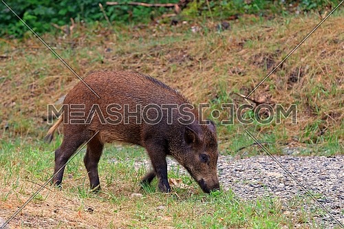 Wild boar grazing